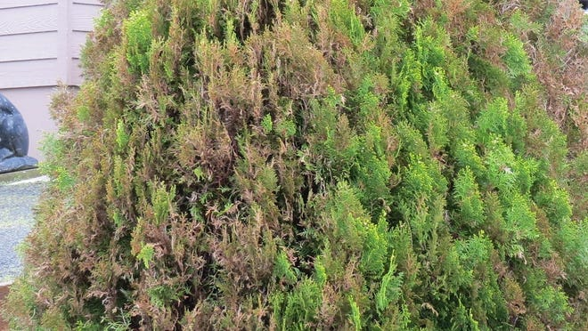 Oriental arborvitae is susceptible to berckmann's blight, a fungal disease that kills the tree.
