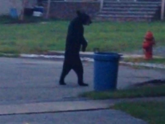 File photo A bear was seen walking upright in 2014