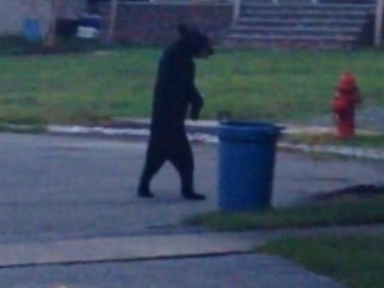 File photo A bear was seen walking upright in 2014