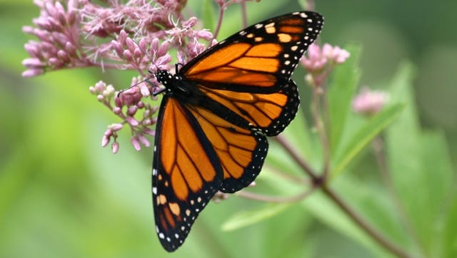 The North Carolina Arboretum will hold its first Monarch Butterfly Day on Saturday.