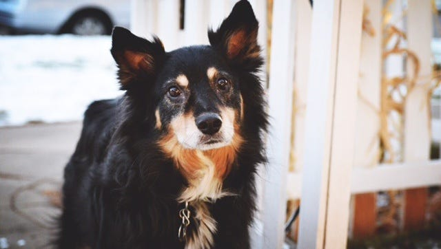Gizmo, an 8-year-old Australian Shepherd mix that grew up in Fort Collins, was recently given a fatal diagnosis of leukemia.