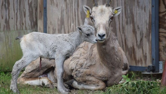 A new female bighorn sheep and her lamb arrived at Wildwood Zoo on Monday.