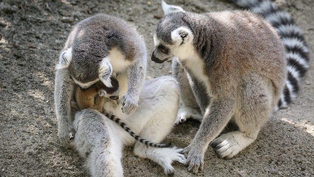Three lemur babies have been born at the Cincinnati Zoo.