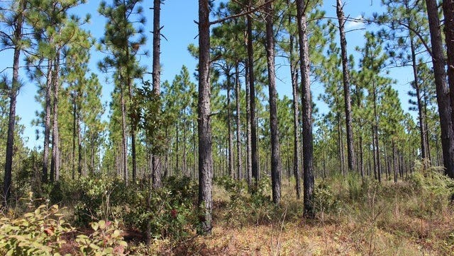Much of the $1 million grant announced by the National Fish and Wildlife Foundation and International Paper will go to restoring and protecting pine forests.