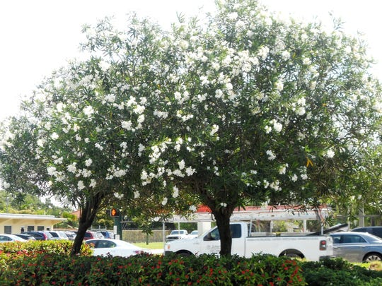 A white oleander tree.