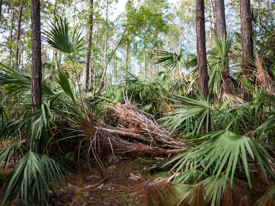 Fallen trees, pine needles and other debris cover the