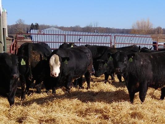 Senior bulls