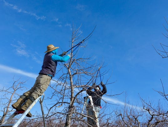 Tree pruning at Brown's Orchards