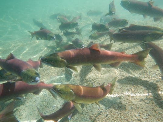 Heat drought cook fish alive in pacific northwest for Wa fish and game