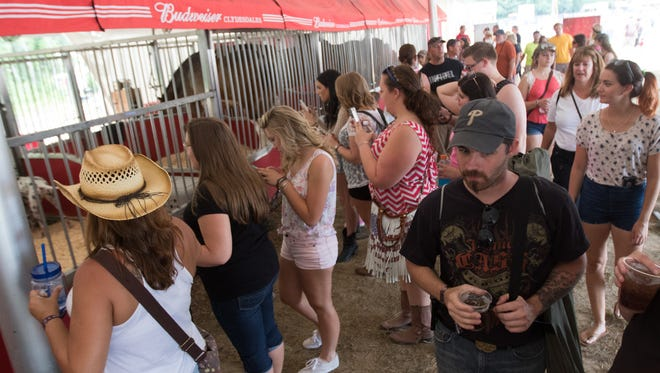 Big Barrel festival-goers look at the Budweiser Clydesdale horses at the first day of the Big Barrel Country Music Festival Friday.