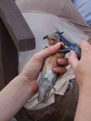 SECONDARY.Red Knot gets bill measured