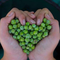 Can American juniper berries give gin terroir?