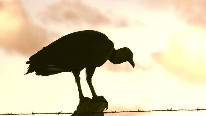 A vulture at sunset.