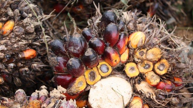 Palm oil fruit.