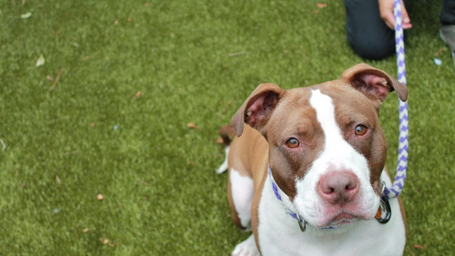 Lady, a 2-year-old pit mix, is available for adoption at Providence Animal Rescue League.