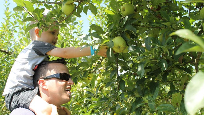 Brett Mellor and 4-year-old son Giovanni pick apples Friday at Justus Orchard.
