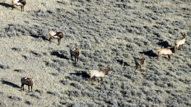 Elk are abundant in Hunting District 410, which is part of the Crooked creek area managed by the BLM.