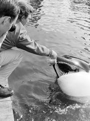 "Actor Robert Lansing feeds Namu the killer whale some salmon during the filming of ""Namu, the Killer Whale"" in Rich Passage 50 years ago."