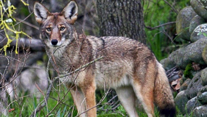 Recent coyote sightings have raised concerns on the Southern York County Facebook page.