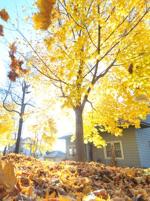 Leaves turn their last shade of yellow before falling to the ground across the Wausau area.