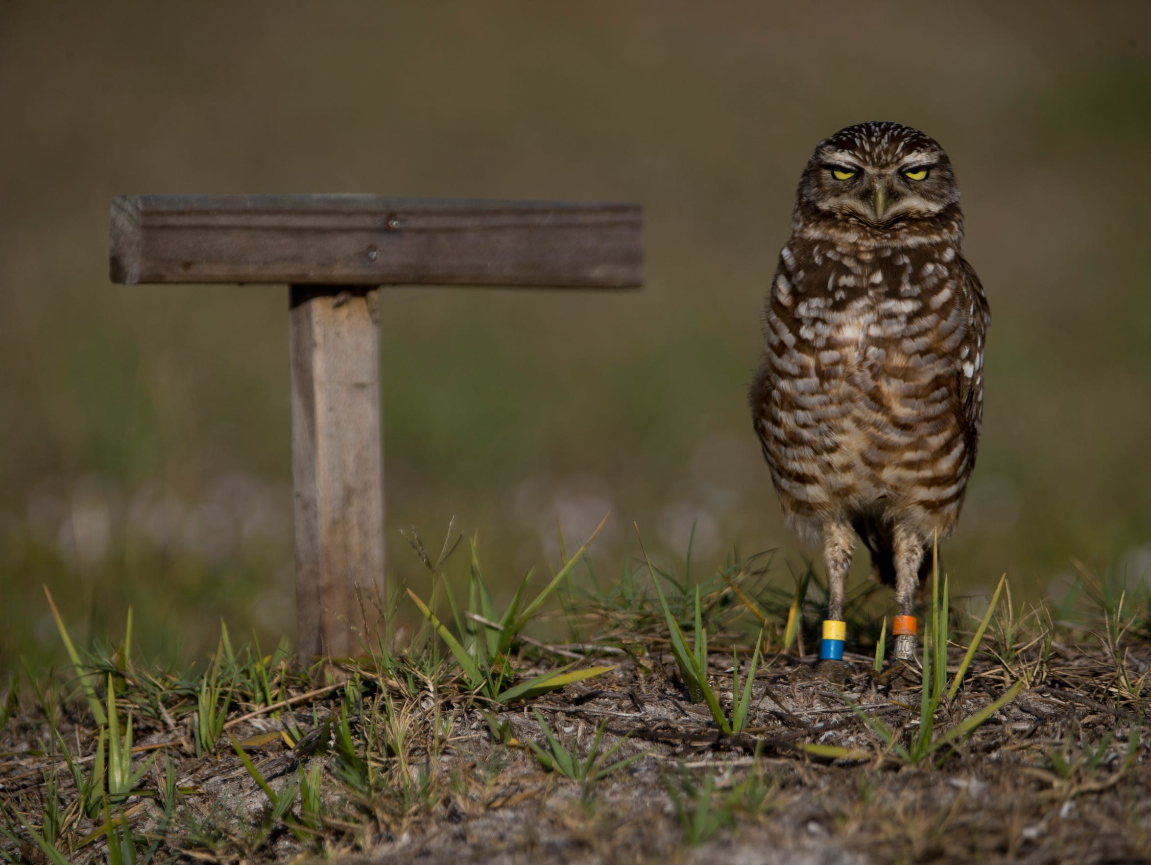 A burrowing owl, with multiple colored bands around