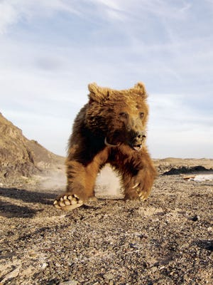 There are believed to be only three to four dozen Gobi bears left in the world.