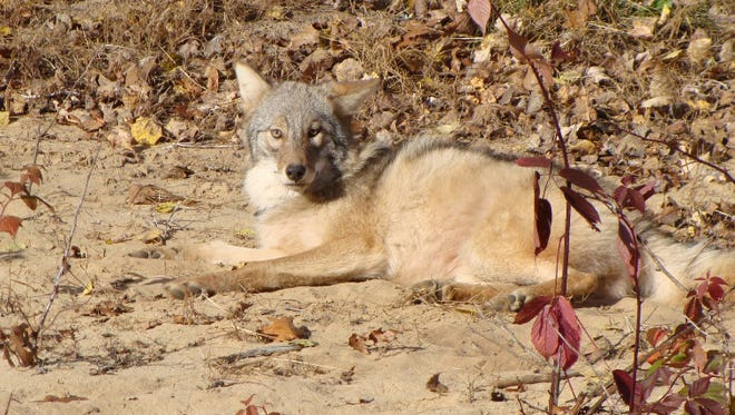 At first confused for a wolf, this coywolf was trapped in northern Cheboygan County in July 2010.