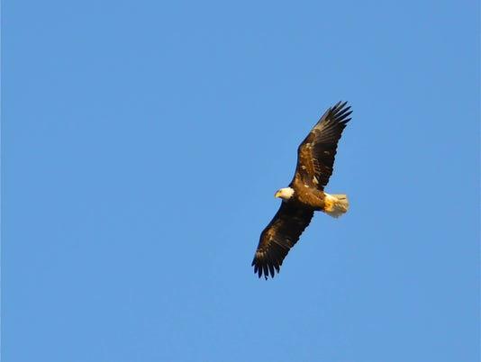636537790903838468-Eagle-by-Tim-Sweet.jpg