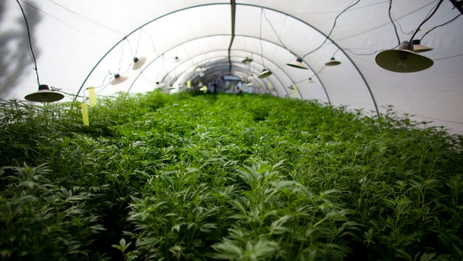 Cannabis plants at a growing facility.