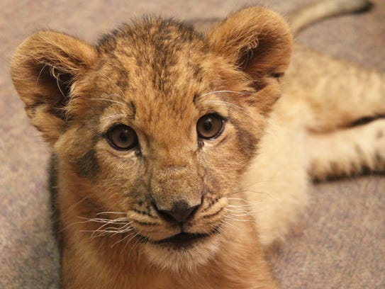 Bisa, an African lion cub will reside at Animal Adventure