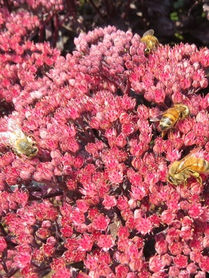 Hylotelephium spectabile is not native to Oregon but is great for bees.
