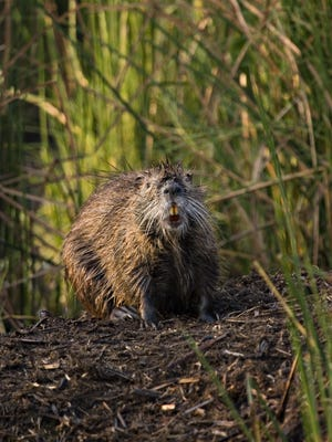 A nutria photographed by Stephen Kendrot, who is leading the USDA's nutria eradication and control program on the Lower Shore.