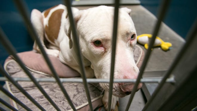 Mickey the pit bull mauled a 4-year-old's face Feb. 20.