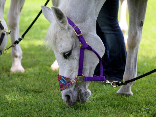 Lily feeds on grass near her new owner Tracy Stewart, wife of comedian Jon Stewart, on Thursday in Kennett Square, Pennsylvania. The Stewarts adopted two horses.