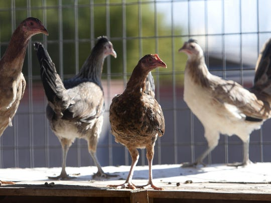Requests to allow chickens in urban areas has been a contentious  issue in a number of cities. Appleton is in the midst of that debate now.