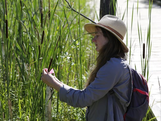 Allison Willman, a Wisconsin Department of Natural Resources wetland identification specialist, identifies a type of cattail as part of wetland ecology training on Friday, July 6, 2018, at Schmeeckle Reserve in Stevens Point.