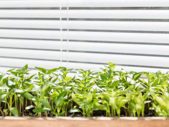 Seedling of pepper on the window sill.