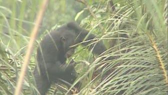 A juvenile chimpanzee using a leaf sponge to drink palm wine.