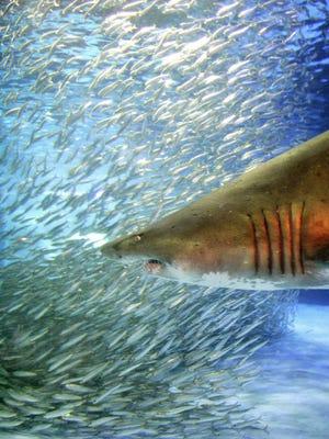 A shoal of 15,000 sardines makes various shapes as a sand tiger shark swims in a large tank at the Hakkeijima Sea Paradise Aquarium in Yokohama, suburban Tokyo.