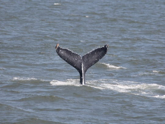 The Cape May Whale Watch Center offers a three-hour excursion aboard the American Star that focuses on whales, dolphins and birds.