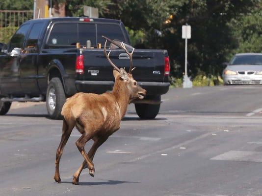 Texas Elk