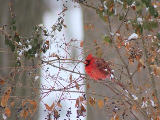 Cardinal after the snowfall