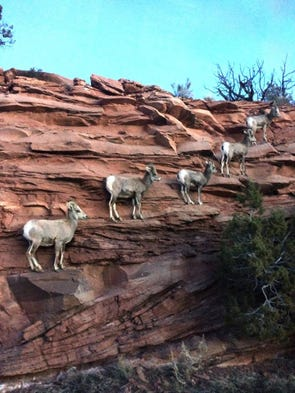 It's a bighorn sheep escalator! Once endangered and