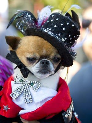 Pekingese-chihuahua mix Rico Suave  is dressed as Liberace.