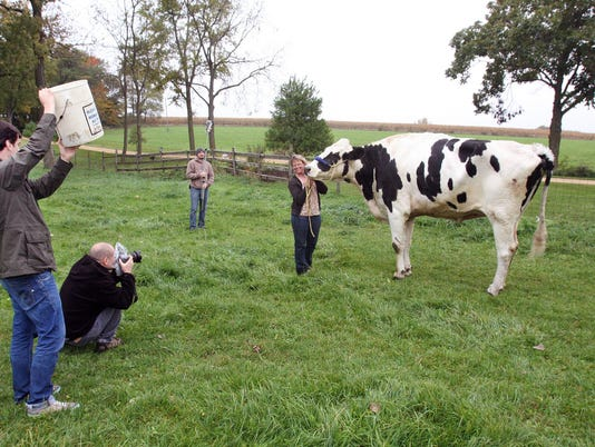 World Record Cow