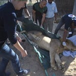 Members of Four Paws medical team prepare to transport a lion at Al-Bisan zoo on Tuesday, Sept. 30, 2014. Three lions, a pair of males and a pregnant female, were sedated before the big cats were placed in metal cages and loaded onto a truck that transferred them through the Erez border crossing into Israel.  Four Paws   said the zoo's animals were in urgent need of care after the 50-day conflict between Israel and Hamas. More than 80 animals died as a result of the fighting.