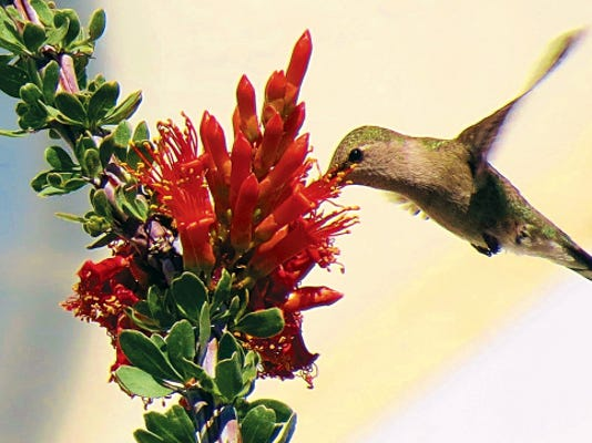"""FeVa Foto Photo   Shown is Sandy Feutz's image of a hummingbird enjoying the nectar of the ocotillo blooms, titled: """"Ocotillo and Hummer Delight! """""""