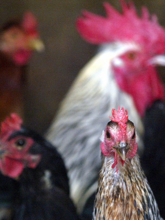 Chickens are seen in their pen as inspec