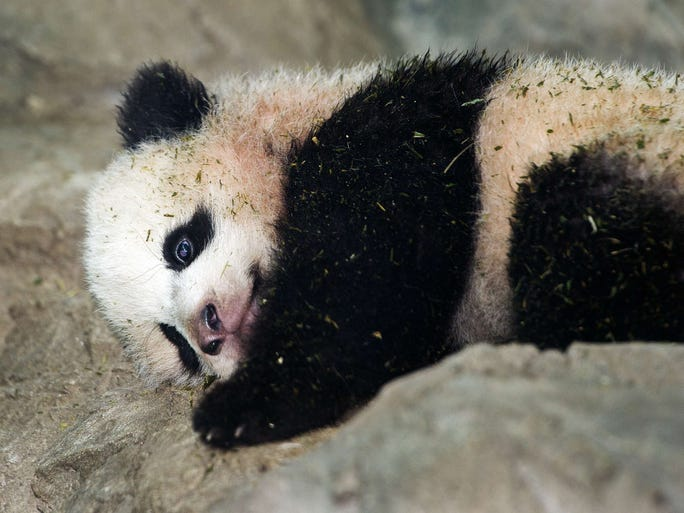 Giant Panda cub Bao Bao is seen by the media for the first time on Jan. 6 inside his glass enclosure at the National Zoo in Washington, D.C., a few days before going on display to the general public.