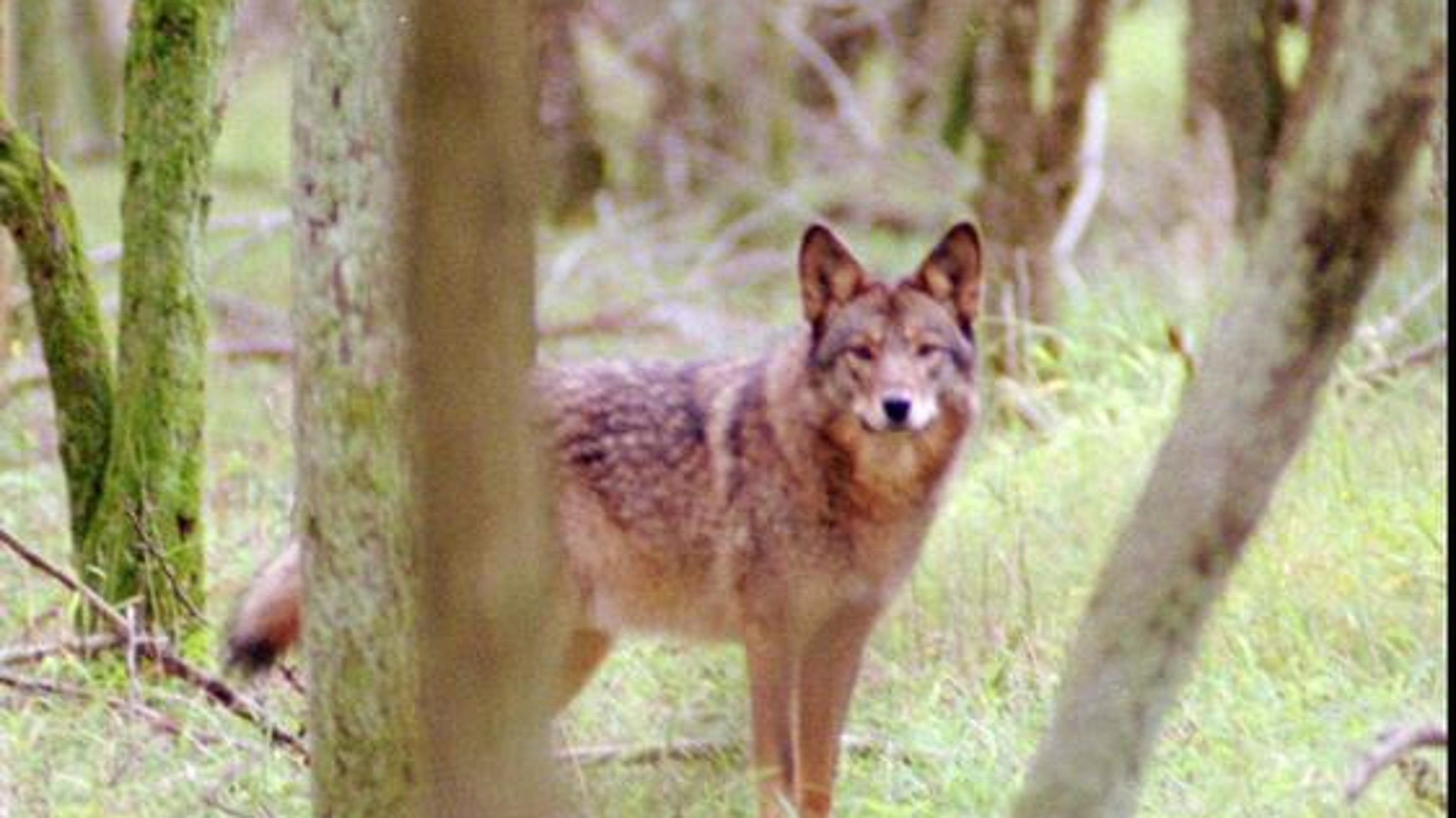 Coyote/wolf hybrid spotted at Savannah River